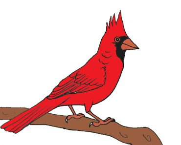 How to Draw a Northern Cardinal