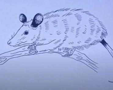 How to Draw Opossum Easy