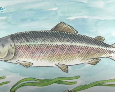 How to Draw a Salmon Step by Step