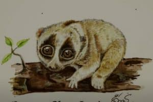 How to Draw a Slow Loris
