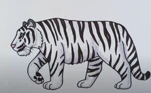 How to Draw a Siberian Tiger Step by Step