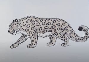 How to Draw a Snow Leopard Easy Step by Step